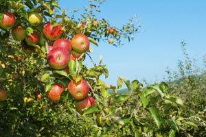 Best Apple Picking Near Warminster, PA
